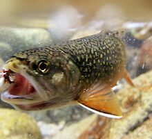Brook Trout - Underwater on Fly by Ryan Houston