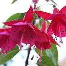 Fuschia by heatherfriedman