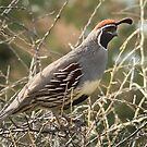 Quail by George Lenz