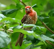 House Finch by Rick  Friedle