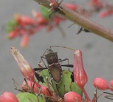Brown Western Conifer Seed Bug? - Austin, Tx., USA by Navigator