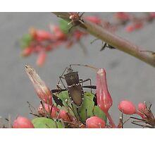 Brown Western Conifer Seed Bug? - Austin, Tx., USA Photographic Print