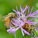 Aster Bee by Lin Taylor