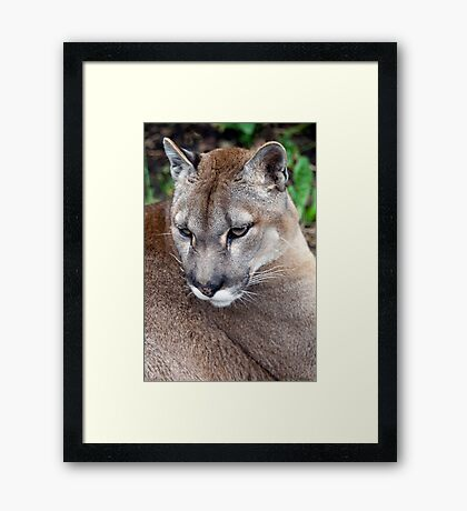Close Up Of A Puma - (Puma concolor) Framed Print