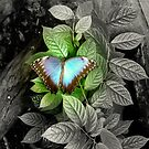 Blue Morpho Butterfly with a twist by Dorothy Thomson