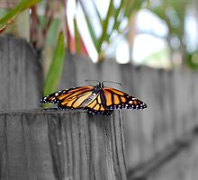 Newly Hatched Monarch Butterfly by Nugent Visuality