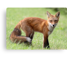 Red Fox From Cavendish Canvas Print