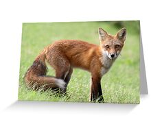 Red Fox From Cavendish Greeting Card