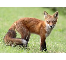 Red Fox From Cavendish Photographic Print
