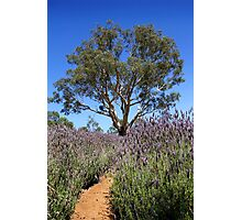 Gum tree among the lavender Photographic Print