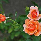 3 Peach Roses by Monnie Ryan
