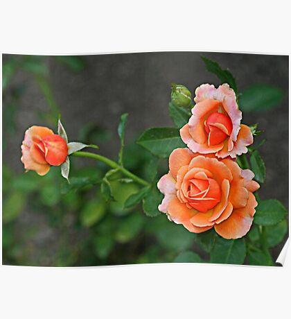 3 Peach Roses Poster