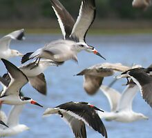 Black Skimmers and Gulls fly by kari kirby
