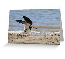 Black Skimmer making a landing on shoreline Greeting Card