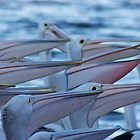Spectacle Pelicans in Unison by jhea5333