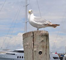 Sea Gull  by Shelby  Stalnaker Bortone