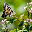 Tiger Swallowtail Butterfly by amontanaview