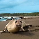 Female Northern Elephant Seal,  mirounga angustirostris, by Eyal Nahmias