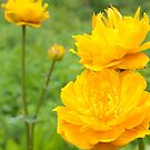 Summer Trollius by Sally Winter