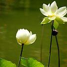 Two Lotuses, kaks lootust by loiteke