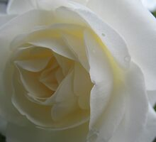 Ivory Maiden Rose by MarianBendeth