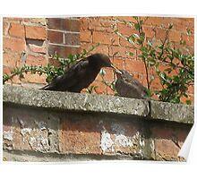 black bird feeding baby Poster