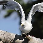 Seagul, ready for take off.... by Bertspix1