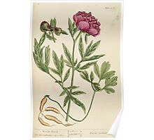A curious herbal Elisabeth Blackwell John Norse Samuel Harding 1737 0172 Female Piony Peony Poster