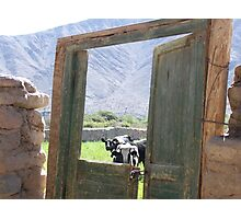 cows at pasture Photographic Print