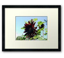 black sunflowers 2015 Framed Print