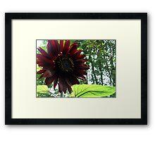 black Sunflower 2015 a Framed Print