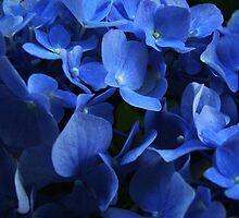 Blue Hydrangea by rasim1
