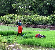 Working in the paddy fields  by Shubd