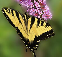 Eastern Tiger  Swallowtail  Butterfly by Corinne Noon