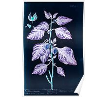 A curious herbal Elisabeth Blackwell John Norse Samuel Harding 1737 0414 Red Winter Cherries Inverted Poster