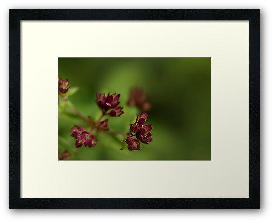 Flowering Thyme by Sharon Johnstone
