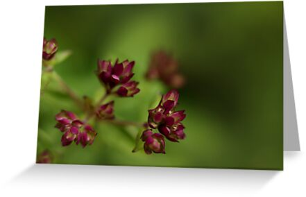 Flowering Thyme by Sharon Johnstone