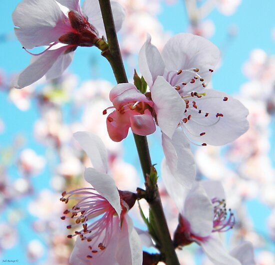 Peach Blossom Time by Judi Rustage