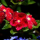 Red Pansy by Stormygirl