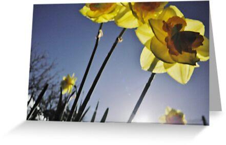 Daffodils by Judi Rustage