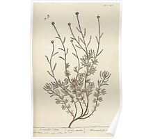 A curious herbal Elisabeth Blackwell John Norse Samuel Harding 1739 0242 Lavender Cotton Poster