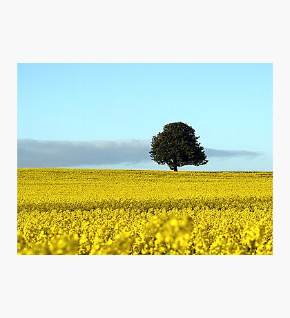 Fife's Golden Fields Of Rapeseed. Photographic Print