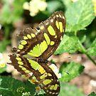 Beautiful Butterfly in a Garden  by Missy Yoder