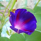 Hello Morning Glory by TabithaPayne
