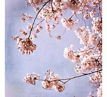 cherry blossoms in spring sky Photographic Print