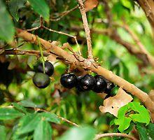 Jabotica Fruit Tree by ggpalms