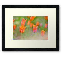 Colorful orange warm tulips Framed Print