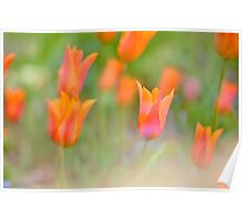 Colorful orange warm tulips Poster