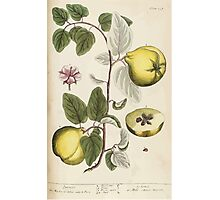 A curious herbal Elisabeth Blackwell John Norse Samuel Harding 1737 0352 Quince Quinces Photographic Print
