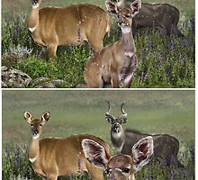 MOUNTAIN NYALA Tragelaphus buxtoni ( NOT  PHOTOGRAPHS         ) PLEASE READ BLURB by owen bell
